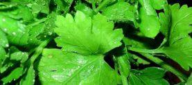 Засолка зелени